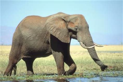 how far can a smell how far can an elephant smell water animals me