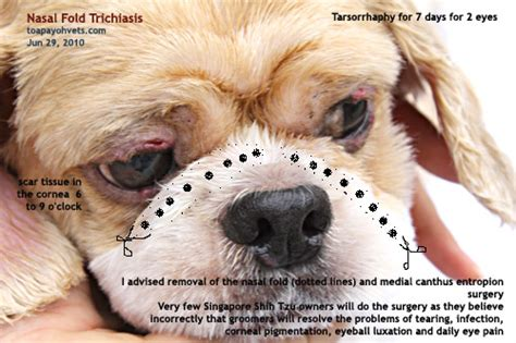 shih tzu eye ulcer 20100619dental scaling health care problems in singapore dogs fistula oronasal dog