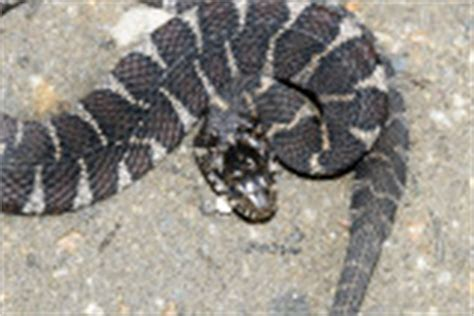 black and white diamond pattern snake snakes photo gallery by tom murray at pbase com