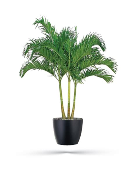 Home Design Tampa Fl Adonidia Palm Office Plants