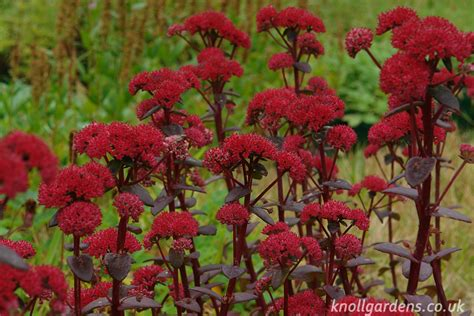 Salvia Nursery by Sedum Red Cauli Knoll Gardens Ornamental Grasses And