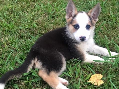 panda german shepherd akc panda german shepherd puppies in hoobly classifieds