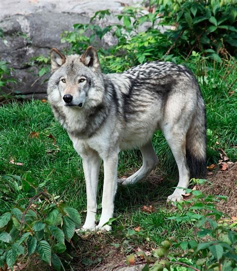 breed closest to wolf excellent closest breed to wolf roselawnlutheran