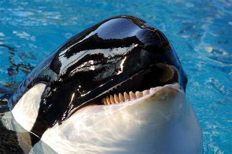 killer whale up killer whale up www pixshark images
