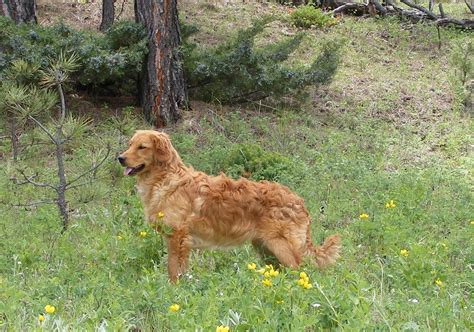 golden retrievers for sale in mn golden retriever mix for sale in mn dogs in our photo