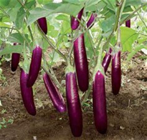Bibit Terong Ungu Bulat cara menanam terong pertanian sukses