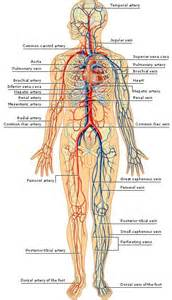what color is blood inside the human arteries and veins of the human arteries inside the