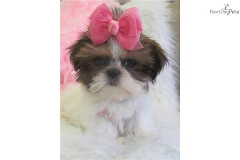 white teacup shih tzu puppies shih tzu puppy for sale near fort lauderdale florida 279b4497 cba1