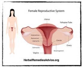 Female human organ systemhuman female reproductive system nxgnqh0x