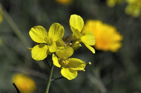 imagenes flores amarillas flores amarillas aleluyas amarillas im 225 genes y fotos