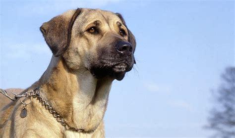 anatolian dogs anatolian shepherd breed information