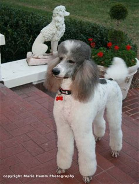 indiana poodle rescue groups 25 best ideas about poodle rescue on poodle