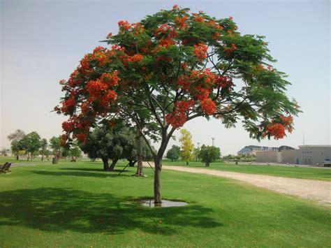 Benihbijibibit Pohon Flamboyan Merah 1 delonix regia and trees on