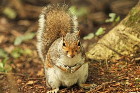 facts about gray squirrels the state mammal of north carolina