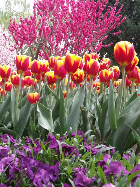 Top Tulip by Tulip Top Gardens A Great Site