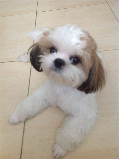 shih tzu with cut looking neat and sharp after his haircut shih tzu fan fotos