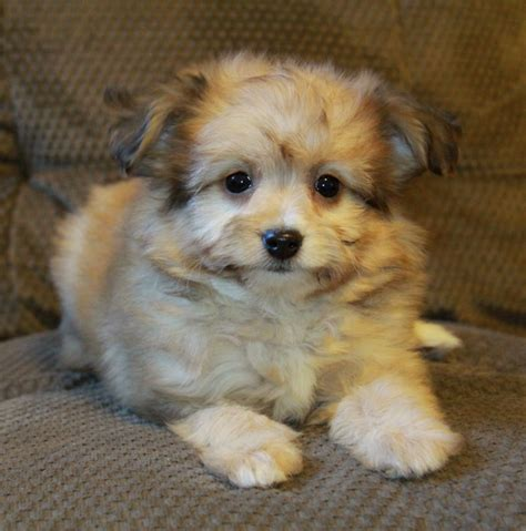pomeranian poodle mix puppies pomeranian poodle mix brown www imgkid the image kid has it