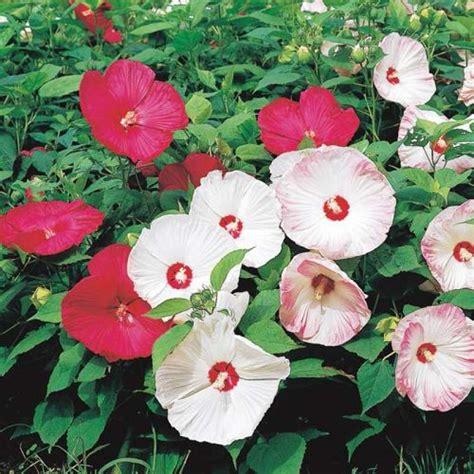 hibiskus zimmerpflanze kaufen samen saatgut hibiskus staudeneibisch disco f1