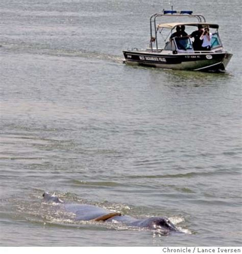 boat r west sacramento whales injured effort to move them starts thursday sfgate
