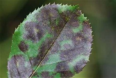 Natürliches Mittel Gegen Pilze Im Garten by Rosenkrankheiten Vorbeugen Und Bek 228 Mpfen Z B Rosenrost
