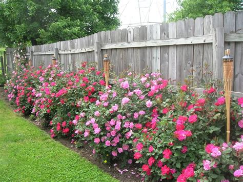 rose themed landscape when to trim back knockout roses and how much roses