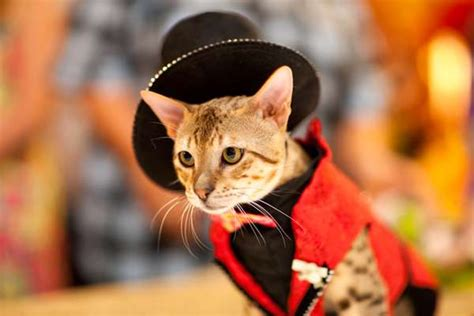 kitty costume catwalks update algonquin hotel cat