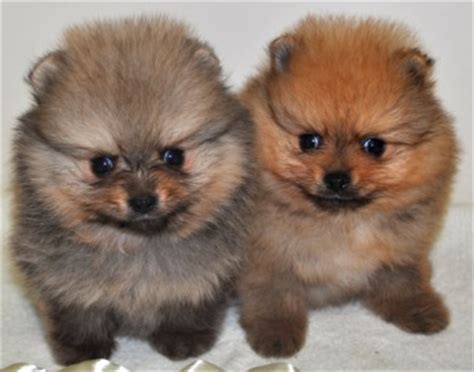 what to feed pomeranian puppies feeding your pomeranian pomeranian breed facts care pictures