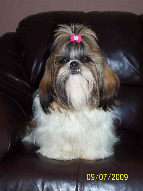 how long does it take for a shih tzu to grow back her hair chipanddale shih tzus letters from new familys