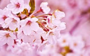 Cherry blossom wallpaper 2009 by windylife on deviantart