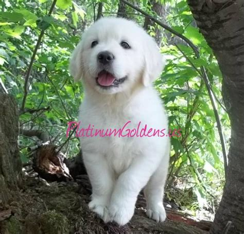 golden retriever puppies for sale mi platinum golden retrievers