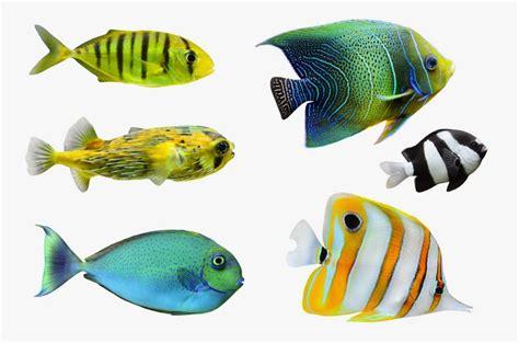 wallpaper bergerak ikan hias gambar ikan hias wallpaper