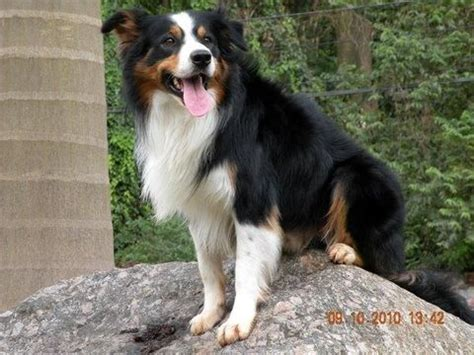 Border Collie Also Search For Border Collie Black Tri White Legs Search Border Collies