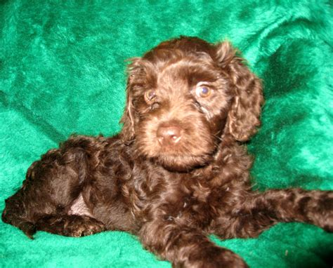 brown labradoodle puppy australian labradoodle puppies available now ashford manor labradoodles