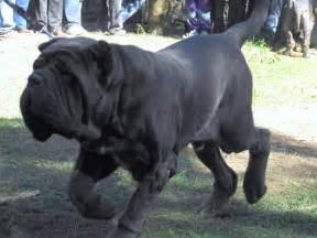 belgian shepherd rescue australia mastiff dog breeds fun animals wiki videos pictures