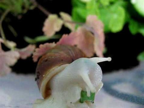 Albino Giant African Land Snail (GALS) eating - YouTube