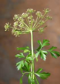 Parsley Flowering - parsley wikipedia