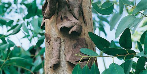 Alberi Sempre Verdi by Alberi Ornamentali Conifere E Latifoglie Coltivazione E