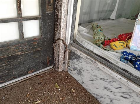 cuero animal control window shopping snake removed from downtown cuero video