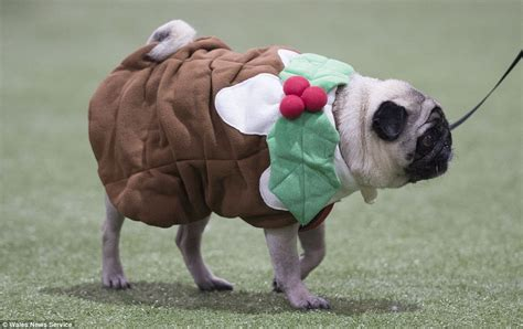 clothes with pugs on them pugs dress up as and mince pies at festive daily mail