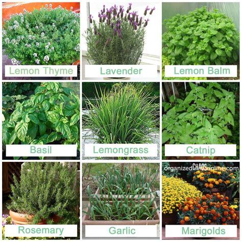 plants that repel mosquitoes 9 plants that repel mosquitos trusper