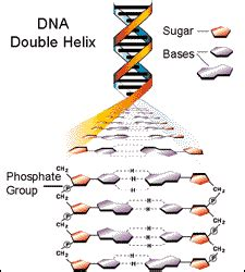 Biotechnology Basics What Is Dna The Process Of Dna