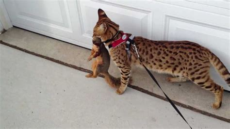 F1 Savannah Cat and Squirrel   YouTube