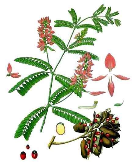 rosary bead plant saga abrus precatorius prayer rosary bead vine
