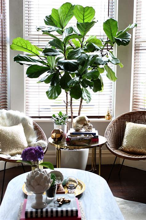 25 best ideas about fiddle fig on pinterest fiddle leaf fig fiddle leaf fig tree and fiddle leaf