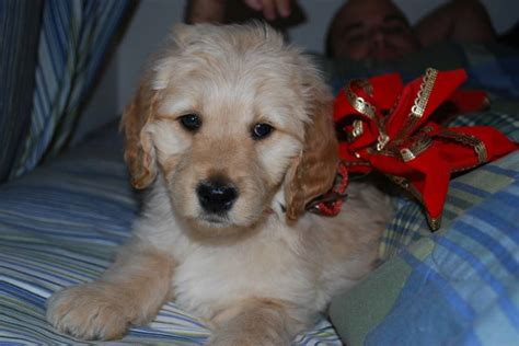 mini doodle virginia goldendoodle puppies blacksburg va www proteckmachinery