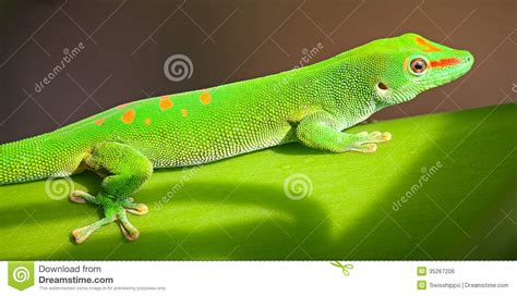 gecko green green gecko images reverse search