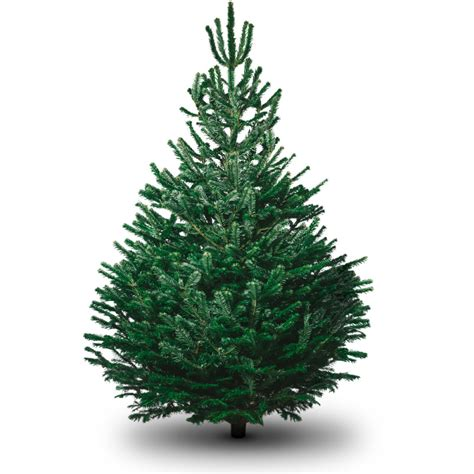 fresh christmas trees near me real fresh trees delivered uk