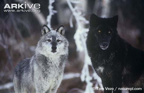 wolf colors gudu ngiseng pictures of wolves to colour in