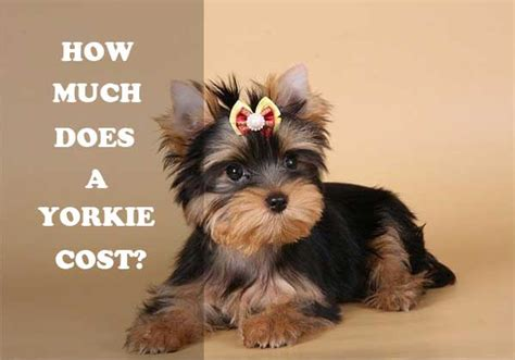 how do yorkies get terrier price range how much does a yorkie cost