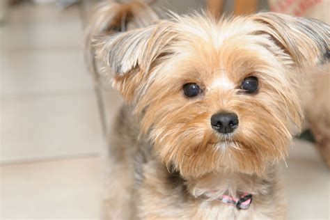75 best images about my pet quot mater quot on pinterest the world s best photos of yorkies and yorkshireterriers
